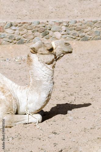 Aluminium Kameel Camel lies on the sand.