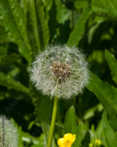 Fotobehang Paardenbloemen Dandelion with ripe seeds on bokeh background, macro, selective focus, shallow DOF