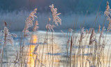 Reed in a field along a frozen lake at sunrise in winter  - 191457245