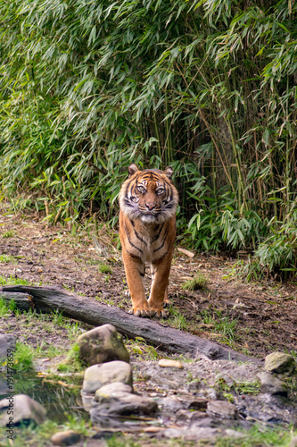 Fotobehang Tijger Amur Tiger