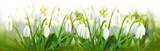 Snowdrop flowers background. - 191479618