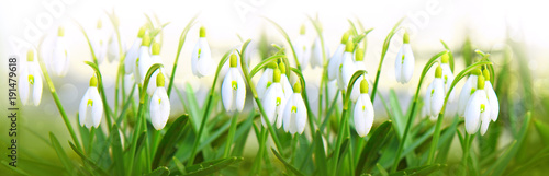 Snowdrop flowers background.