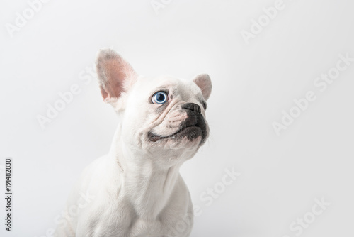 Deurstickers Franse bulldog adorable french bulldog puppy isolated on white