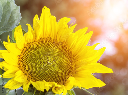 Papiers peints Jaune Sunflowers garden. Sunflowers have abundant health benefits. Sunflower oil improves skin health and promote cell regeneration.