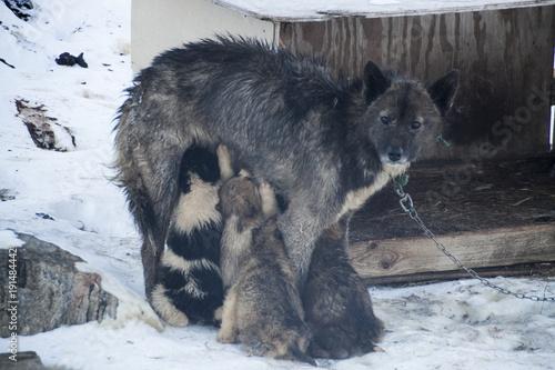 Aluminium Wolf Sledge dog with pups