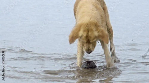 Adorable golden retriever with wet fur playing with ball at ocean beach and wagging his tail