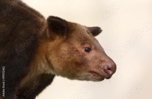 Fotobehang Kangoeroe Close up view of a Goodfellow's tree-kangaroo (Dendrolagus goodfellowi)