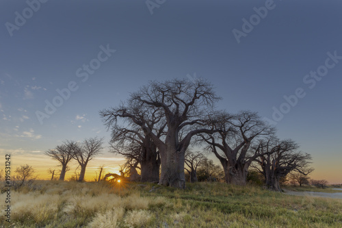 Foto op Canvas Baobab Sunrise at Baines Baobab's