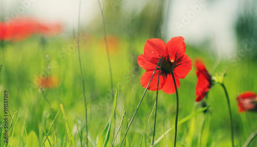 Fotobehang Klaprozen Spring blossom of the red flowers (anemones) on a green meadow