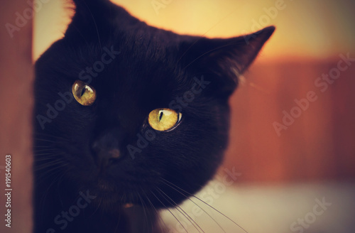 Foto op Aluminium Panter Black Cat with yellow eyes peeping from behind a corner