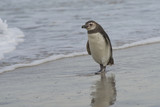 Young Magellanic Penguin (Spheniscus magellanicus) approaches the sea on Bleaker Island in the Falkland Islands. - 191544053