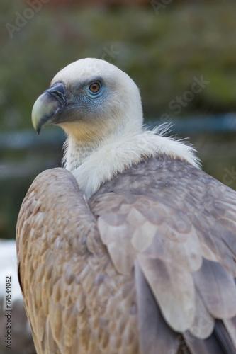 Deurstickers Natuur Griffon vulture is posing