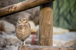 perched owl