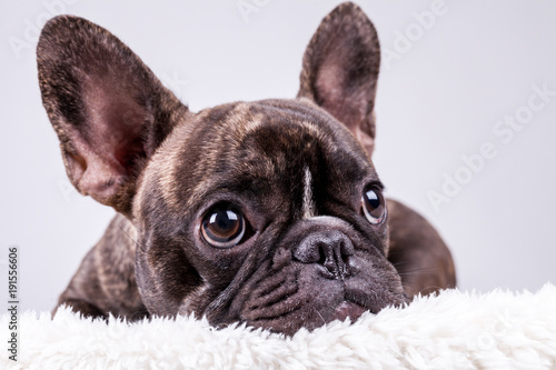 Foto op Plexiglas Franse bulldog French bulldog lying with sad face