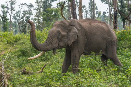 Coorg, India - October 29, 2013: Dubare Elephant Camp. Full body closeup of chained male elephant with one tusk standing in the green jungle an lifting its trunk.