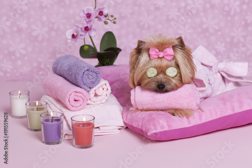 Yorkshire Terrier Spa