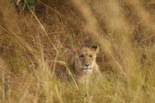 Fotobehang Lion Watching lioness cub lying in the grass