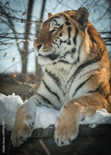 Fotobehang Tijger Siberian Tiger - Amur Tiger - Panthera Tigris Tigris - Resting In The Snow