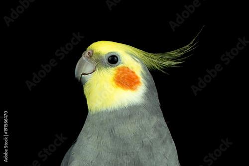 Fotobehang Papegaai Parrot Corella on a black background
