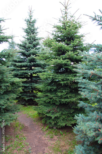 young spruce plantations, ornamental trees