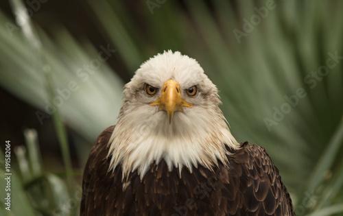 Aluminium Eagle eagle eyes are staring at you