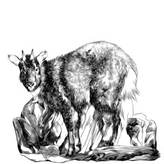 mountain goat stands on stones sketch vector graphic monochrome drawing
