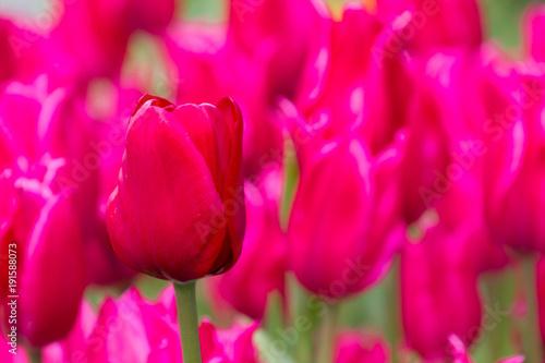 Poster Roze 美しく咲くカラフルなチューリップ