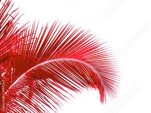 Foto Murales  palme rouge de cocotier, fond blanc
