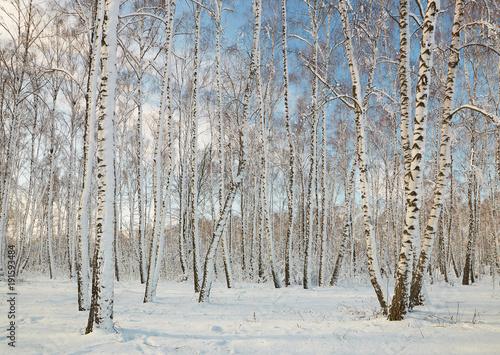 Fotobehang Berkenbos Birch grove in winter under snow on a clear day