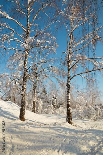 Plexiglas Berkenbos Birch grove in winter under snow on a clear day