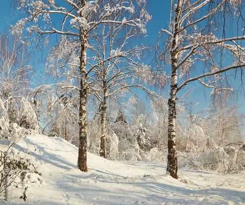 Fotobehang Berkenbos Birch grove in winter under snow on a clear day