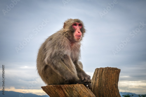 Fotobehang Aap Japanese macaque on a trunk, Iwatayama monkey park, Kyoto, Japan
