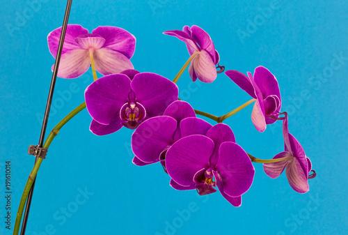 purpurowe-orchidea,-kwiaty,-niebieskie-tlo