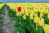 A lone red tulip stands among a blooming tulip field, The Netherlands - 191614021