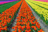 Spring blooming tulip field, The Netherlands - 191614092