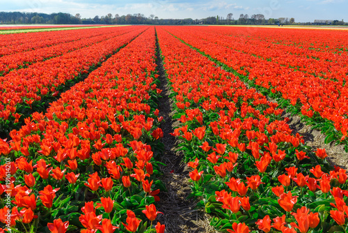 Poster Rood Spring blooming tulip field, The Netherlands