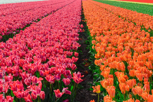Fotobehang Rood Spring blooming tulip field, The Netherlands
