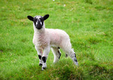 Young lamb in a gree...
