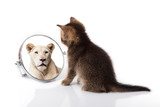 kitten with mirror on white background. kitten looks in a mirror reflection of a lion - 191615617
