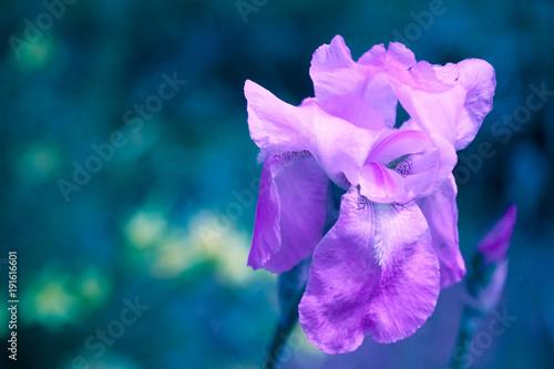 Aluminium Iris Blossoming iris flower in a garden in spring