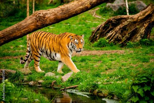 Fotobehang Tijger Tiger in forest. Tiger portrait
