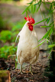 beautiful  rooster. white rooster - 191617676