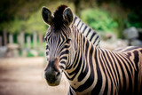 Zebra close up portrait - 191617823