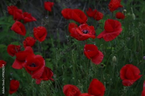 Foto op Plexiglas Klaprozen red poppies