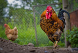 Rooster on the farm. Domesticated fowl Gallus gallus domesticus - 191632291