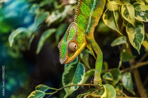 Aluminium Kameleon lizard, reptile, green, animal, chameleon, nature, wildlife,