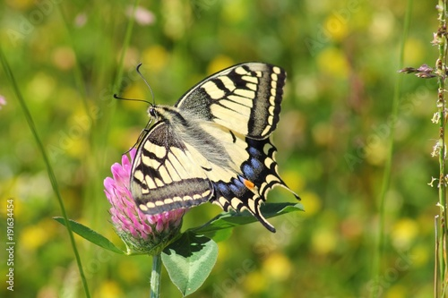 Aluminium Vlinder butterfly, insect, flower, nature, macro, garden