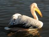 pelican de dos - 191640615