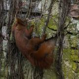 Acrobatic Red Squirrel - 191642630