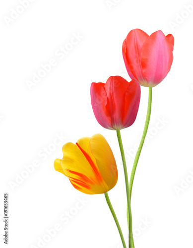 Two red and one yellow tulips isolated on white background